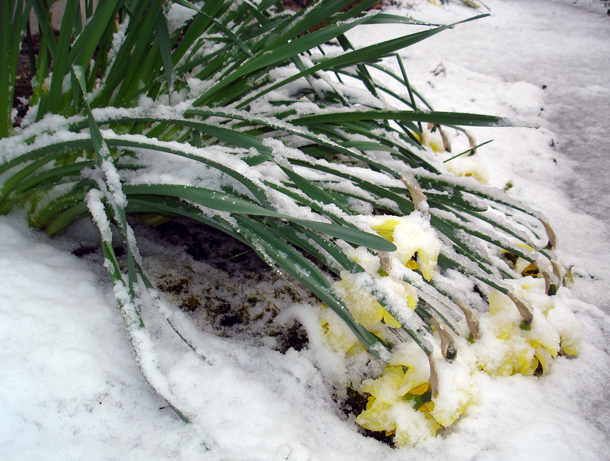 daffs in the snow