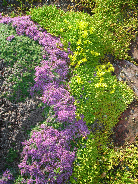 creeping thyme and sedum ~ 21 June 2011