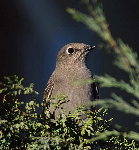 Townsend's Solitaire ~ photo by Joe Meche