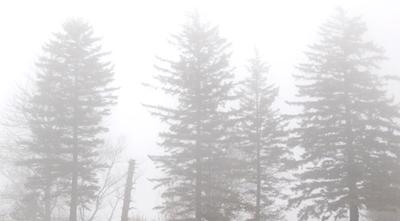 firs in fog