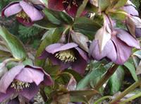 purple hellebore
