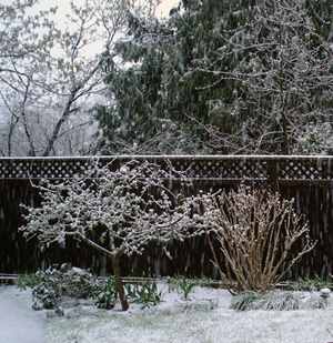 apple tree and hydrangea in the snow