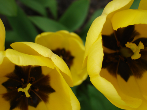 gray sky yellow tulips