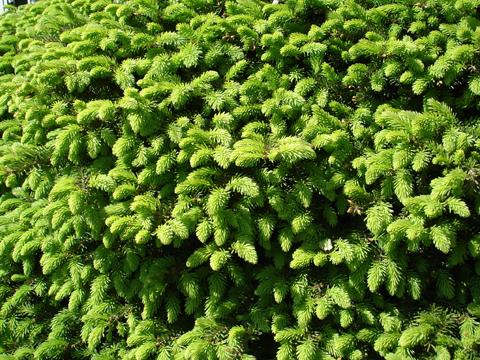 birdsnest spruce