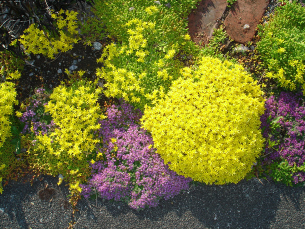sedum and thyme ~ 21 June 2011