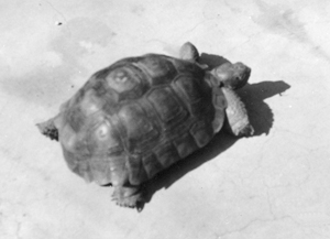 the neighbor kid's tortoise