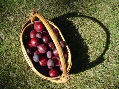 plums of August
