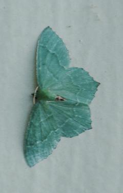 Hemithea aestivaria ~ 17 Aug 2011 ~ Bellingham, Washington, USA