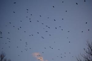 crows by Tom Merriman
