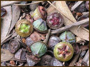 eucalyptus seedpods