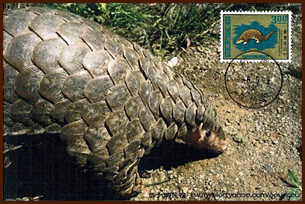 pangolin postcard