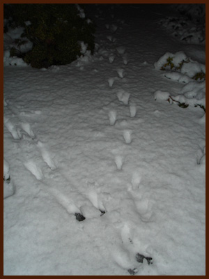 deer prints in snow