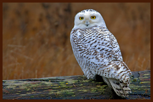 Snowy Owl Copyright © 2011, Alan D. Wilson