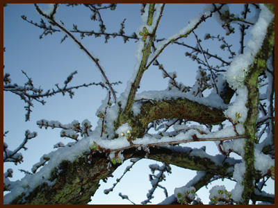 plum buds in snow