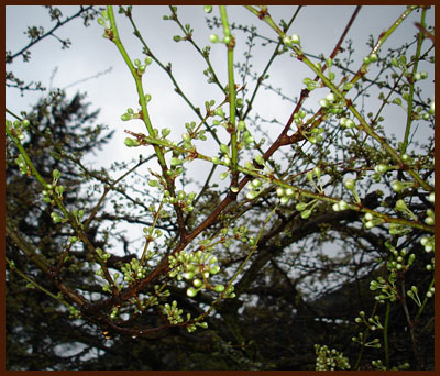 plum tree ~ 11 March 2012
