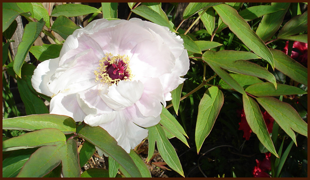 Mother's Day tree peony