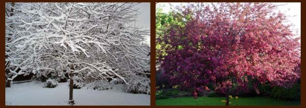 the crabapple in January and April