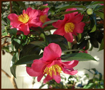winter blooming camelias