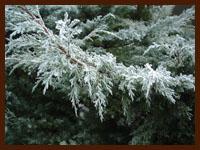 juniper frost