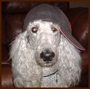poodle in hat