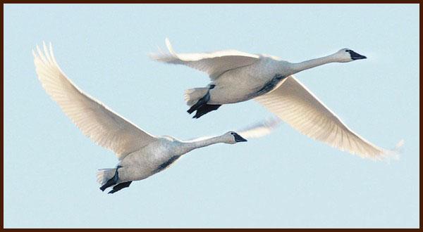 trumpeter swans photo by Scott Terrell / Skagit Valley Herald