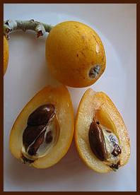 loquat - Eriobotrya japonica