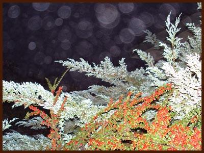 cotoneaster juniper fog