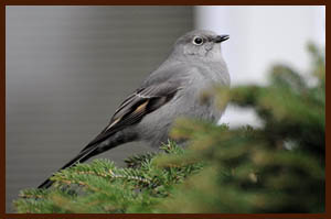 Townsend's Solitaire photo by Joe Meche