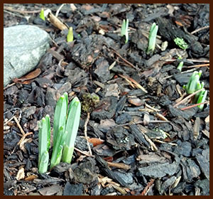 snowdrops are up