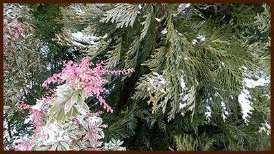 dwarf pieris and elkhorn cypress